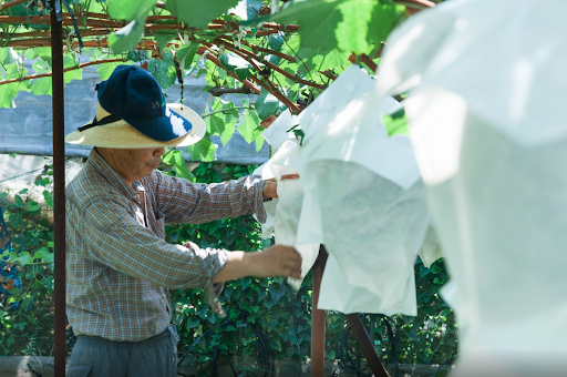A farmer at Okaki Farm carefully checks on the Shine Muscat grapes