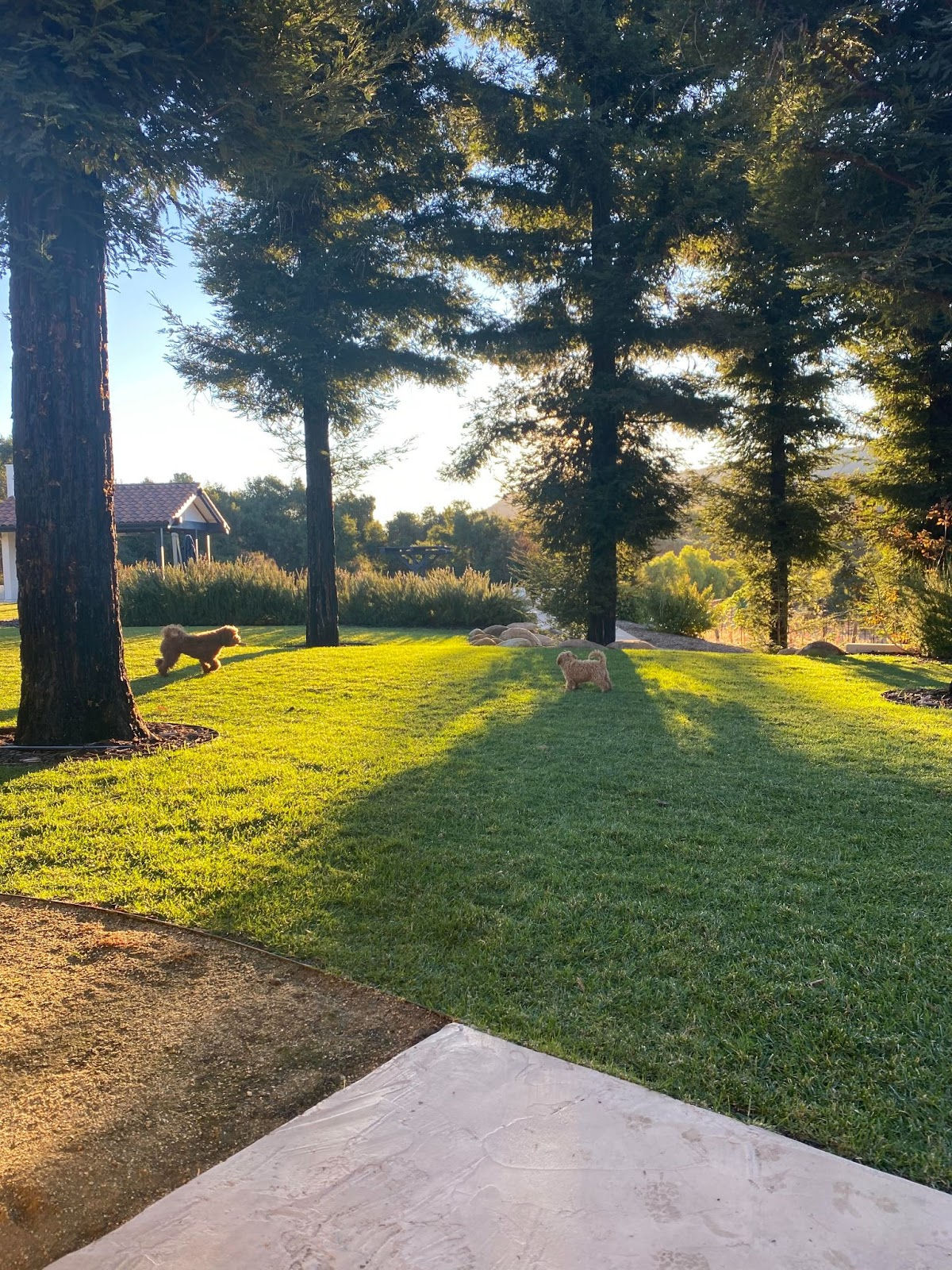 Backyard view with trees and two fluffy brown dogs playing