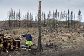 Ett år efter den stora skogsbranden i Hälsingland