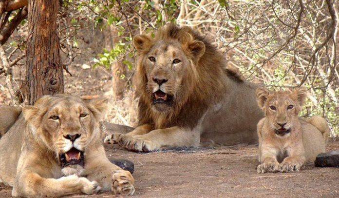 8 Asiatic lions housed in Hyderabad zoo infected with coronavirus
