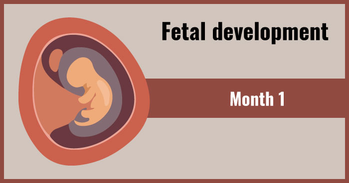fetal development 1st month