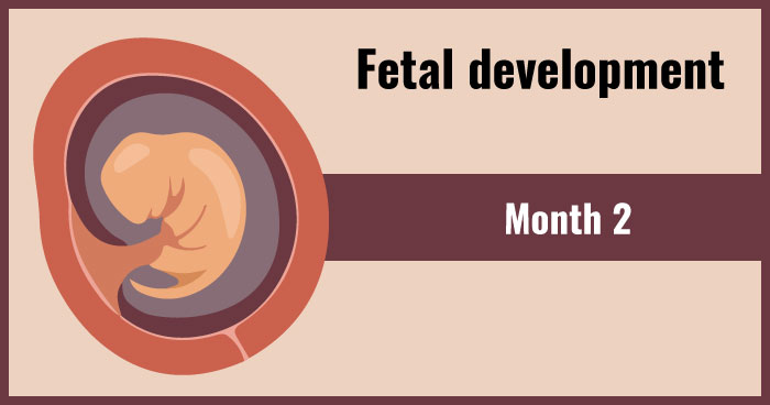 fetal development 2nd month