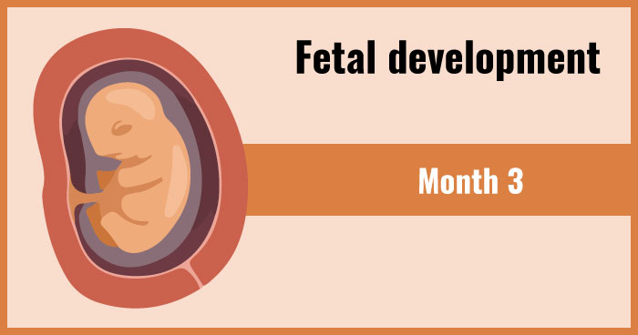 fetal development 3rd month