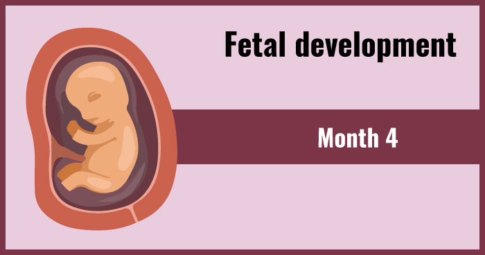 fetal development 4th month
