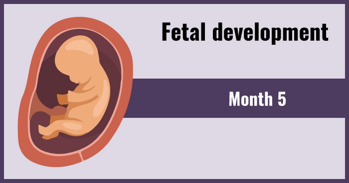 fetal development 5th month