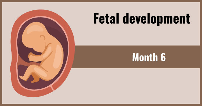 fetal development 6th month