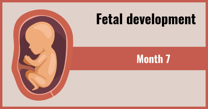 fetal development 7th month