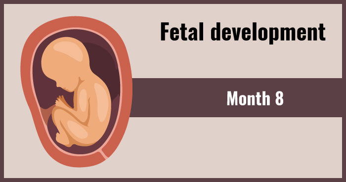 fetal development 8th month