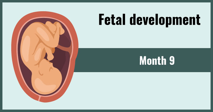 fetal development 9th month