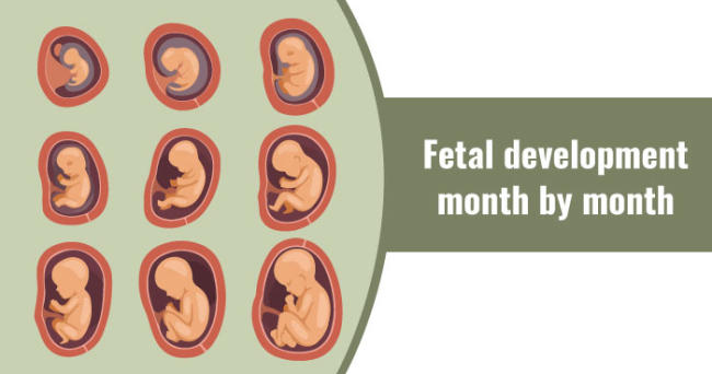 Fetal development - month by month
