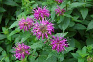 purple bee balm flowers