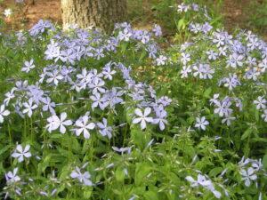 woodland phlox florals