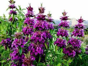 purple lemon mint flowers