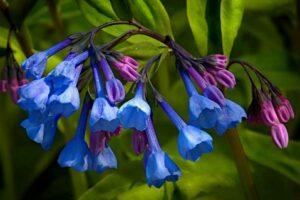 virginia bluebell flower