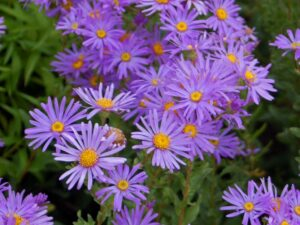 purple aster flowers with greenery