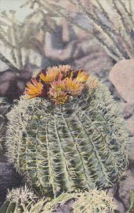 Barrel Cactus Curteich