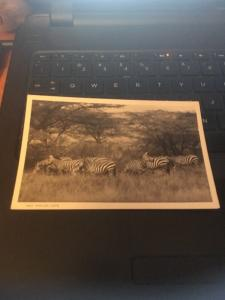 Vtg Postcard; East African Game, Zebras