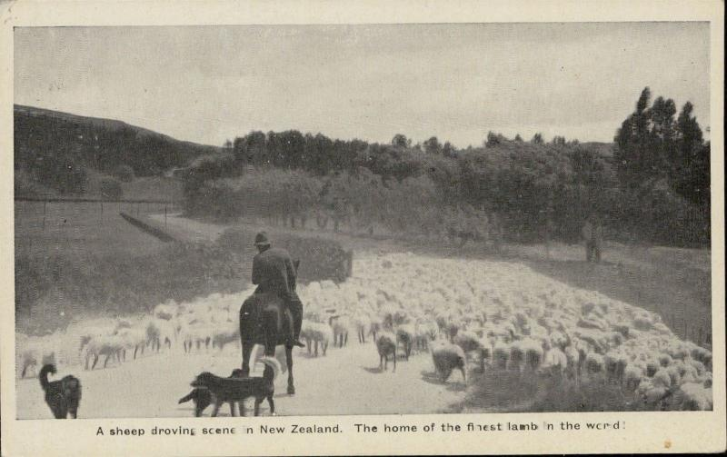 New Zeeland sheep droving scene home finest lamb dogs