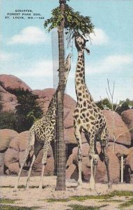 Giraffe Forest Park Zoo Missouri St Louis