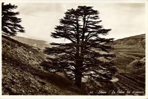 lebanon, Les Cèdres du Liban, Cedrus Cedar (1950s) RPPC Postcard (3)