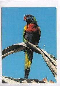 Rainbow Lorikeet, unused Postcard