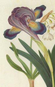 Painted Iris Summer Snowdrop James Bolton 1700s Painting Postcard