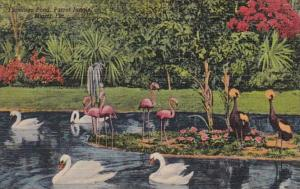 Florida Miami Parrot Jungle The Flamingo Pond 1955 Curteich