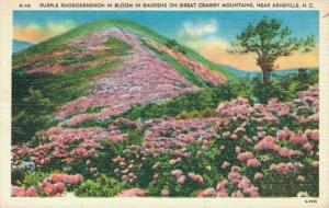 USA Purple Rhododendron in Bloom in Gardens on great Craggy Mountains 02.68