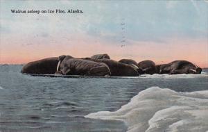 Alaska Walrus Asleep On Ice Floe 1916 Curteich