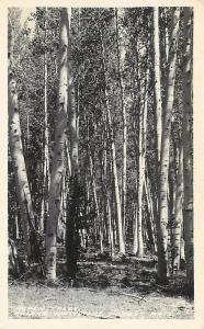 RPPC KAIBAB NATIONAL FOREST, AZ Arizona   ASPEN GROVE  c1940s Frasher   Postcard