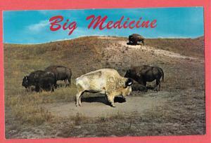 Montana - Big Medicine, sacred White Buffalo
