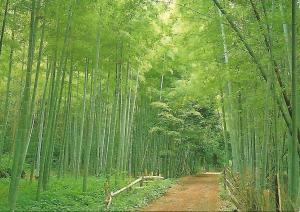 Postal 51963: KYOTO - Bambus en Sagano