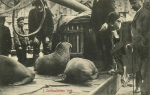 norway norge, I Civilisationens Vold, Caught Sea Lions (1910s) Postcard