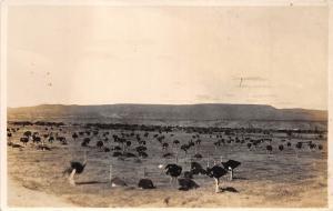 B92033 rsa  Ostrich farming africa south africa