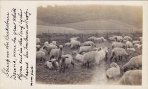 RP, Flock Of Sheep, CHELTENHAM (Gloucestershire), England, UK, 1920-1940s