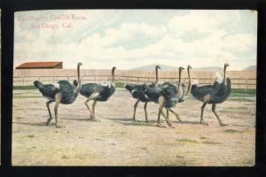 San Diego, California/CA Postcard, The Bentley Ostrich Farm, 1908!