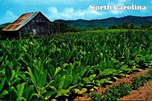 North Carolina Typical Tobacco Barn With Tobacco Ready For Harvest