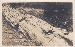 California Queen Of The Forest Tree Petrified Forest Park Real Photo