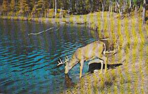 The Stag at Eve Had Drunk His Fill, Deer, Vacationland Scene, United States...