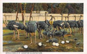 Ostrich Herd at St. Augustine Alligator Farm, Florida, Early Postcard, Unused