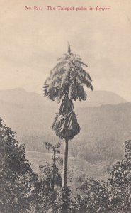 The Talepot palm in flower , CEYLON , 00-10s