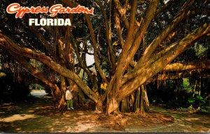 Florida Cypress Gardens The Giant Banyan Tree