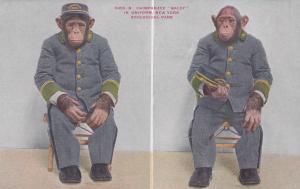 NEW YORK CITY , NY , 1900-10s ; Chimpanzee Baldy #3 , Zoo
