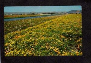 CA Poppy Flowers Lompoc California Postcard Seed Farm