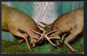 Deer Locking Antlers,Henkelmans Museum,Woodruff,WI BIN