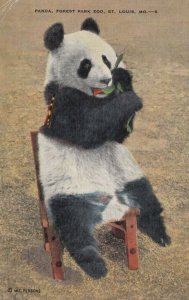 ST. LOUIS, Missouri, 1945; Panda sitting in a chair, Forest Park Zoo