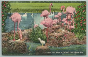 Miami Florida~Flamingos And Nest~Hialeah Park~Vintage Postcard
