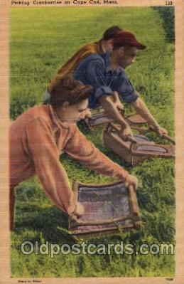Cranberry Picking, Cape Cod, Massachusets Farming Postcard Post Card  Cranber...