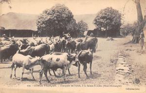 Congo Francais, Troupeau de boeufs, Sainte-Famille (Haut-Oubanghi) Oxen Cattle
