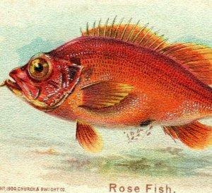 1900 Arm & Hammer Fish Series No.9 Rose Fish Fab! P222
